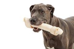 Great Dane Big Bone Royalty Free Stock Photo