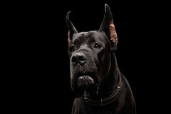 Great Dane on Black Background Royalty Free Stock Photography