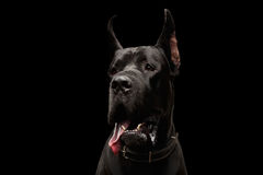 Great Dane on Black Background Royalty Free Stock Images