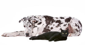 Great Dane and a black cat. Dog and a cat in front of a white background Stock Image