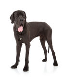 Great dane Stock Image