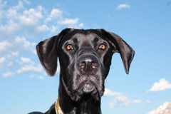Great Dane with blue sky. In the back ground Royalty Free Stock Photos