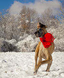 Great Dane cavorting in snow wearing scarf Stock Photos