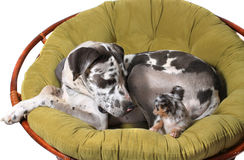 Great Dane and chihuahua dogs Stock Image