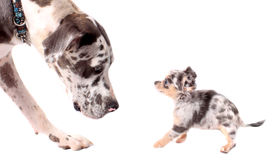 Great Dane and chihuahua dogs. Great Dane and a little chihuahua dog looking at eachother  on a white background, both with merle coat Stock Image