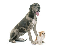 Great Dane and chihuahua Royalty Free Stock Images