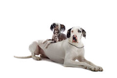 Great Dane and Chinese Temple dog Stock Images