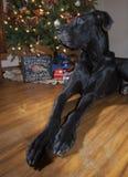 Great Dane Christmas Stock Photos