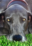 Great dane close up Royalty Free Stock Photos