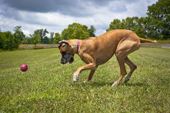 Great Dane concentrating on catching ball Royalty Free Stock Images