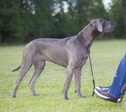 Great dane di amore Immagini Stock