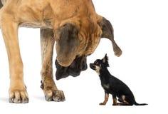 Great dane die een zitting Chihuahua bekijken Stock Afbeelding