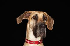 Great Dane Dog Stock Photos