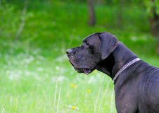 Great dane dog Royalty Free Stock Photography