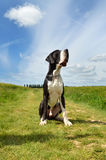 A Great Dane dog breed Stock Photography