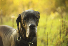 Great Dane dog close up Stock Images