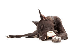 Great Dane Dog Eating Bone Stock Photo