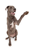 Great Dane Dog Extending Paw. Great Dane dog extending his paw to shake hands Royalty Free Stock Images
