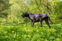 Great dane dog in forest Stock Photography