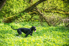 Great dane dog in forest Royalty Free Stock Photo