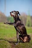 Great dane dog gives paw Stock Image