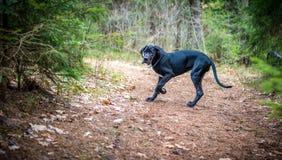 Great Dane Dog Royalty Free Stock Image