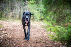Great Dane Dog Stock Photography