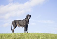 Great Dane dog on hill royalty free stock image