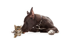 Great Dane Dog Kissing Kitten Stock Photography