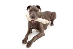 Great Dane Dog With Large Bone Stock Photography