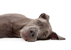 Great Dane Dog Laying Down Royalty Free Stock Images