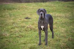 Blue Great Dane dog Royalty Free Stock Images