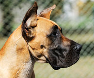 Great Dane Dog portrait Stock Photography