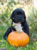 Great Dane dog and pumpkin. Funny beautiful black Great Dane dog puppy and pumpkin Royalty Free Stock Image