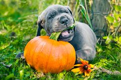 Great Dane dog and pumpkin. Funny Great Dane dog puppy and pumpkin Royalty Free Stock Photos