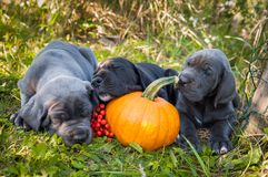 Great Dane dog and pumpkin. Funny sleeping three Great Dane dogs puppies and pumpkin Stock Photos