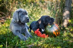 Great Dane dog and pumpkin. Funny sleeping two Great Dane dogs puppies and pumpkin Royalty Free Stock Image
