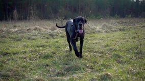 Great Dane Dog run stock video footage