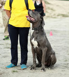 The great dane dog sitting next to its owner and looking at him Royalty Free Stock Image