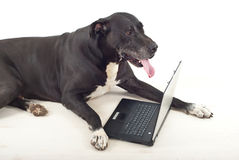 Great dane dog using laptop stock image