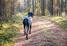 Great Dane Dog Stock Photo