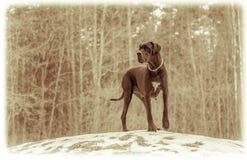Great Dane Dog Stock Image