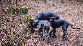 Great Dane Dogs Stock Photography