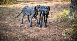 Great Dane Dogs Royalty Free Stock Photography