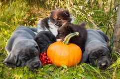Great Dane dogs and Pomeranian Spitz puppies next to pumpkin. Funny sleeping three Great Dane dogs puppies and two Pomeranian Spitz puppy and pumpkin Stock Photography