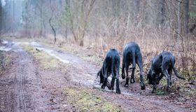 Great Dane Dogs Stock Photos