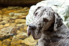 Great Dane Drooling. A very large dog produces a lot of saliva Stock Photos