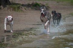 Great dane e Pitbull que correm ao longo da praia Imagem de Stock