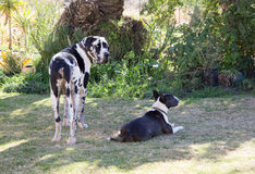 Great dane en Bull terrier Royalty-vrije Stock Afbeeldingen