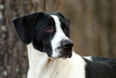 Great dane et portrait de chien de race mélangé par indicateur Photographie stock